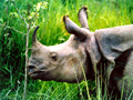 Chitwan One Horned Rhino